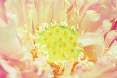 Ziarno Lotosowy kwiat Zdjęcia Royalty Free