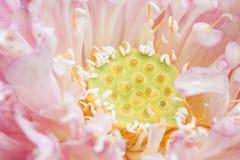 Ziarno Lotosowy kwiat Obrazy Royalty Free