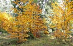 Ziarska dolina的-在高Tatras, Slovaki的谷秋天森林 库存图片