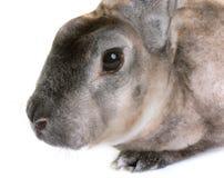 Zibeline Rex rabbit. In front of white background Stock Photography