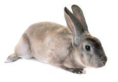 Zibeline Rex rabbit. In front of white background Stock Photos