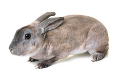 Zibeline Rex rabbit. In front of white background Royalty Free Stock Photos