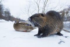 Zibethica Ondatra Muskrat το χειμώνα Στοκ Εικόνες