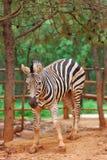 Zibra royalty free stock images