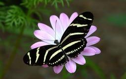 Zibra coloreó la mariposa Imagen de archivo libre de regalías