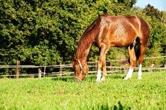 Zich bevindt geïsoleerdh paard Royalty-vrije Stock Foto's