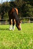Zich bevindt geïsoleerdh paard Royalty-vrije Stock Foto