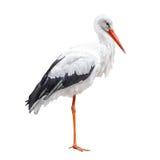 Zich bevindt ooievaarsvogel op witte achtergrond wordt geïsoleerd die Royalty-vrije Stock Afbeeldingen