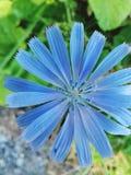 Zichorie-Blume stockfoto