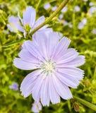 Zichorie-Blume Stockbilder