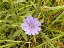 Zichorieblume in der Blüte mit einem Gras umfasste Hintergrund Lizenzfreies Stockfoto