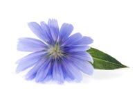 Zichorieblume mit dem Blatt lokalisiert auf weißem Hintergrundmakro Lizenzfreies Stockbild