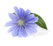 Zichorieblume mit dem Blatt lokalisiert auf weißem Hintergrundmakro Lizenzfreie Stockfotos
