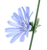 Zichorieblumen lokalisiert auf dem weißen Hintergrund stockfotos