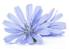 Zichorieblumen lokalisiert auf dem weißen Hintergrund stockbilder