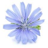 Zichorieblumen lokalisiert auf dem weißen Hintergrund lizenzfreie stockfotos