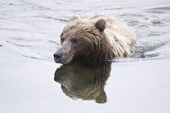 Zichtbare beer-ly Stock Afbeeldingen