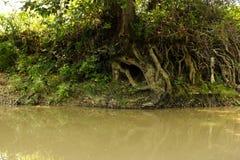 Zichtbare boomwortels bij de rivier stock fotografie