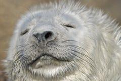 zicklein Seehundbaby einer annulate Dichtung Stockfotografie