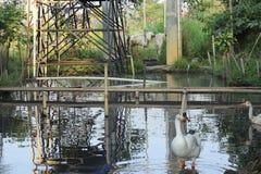 Zie leuke eenden lopend dichtbij het water royalty-vrije stock foto