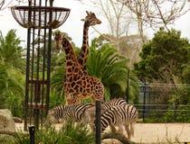 Zie omhoog dichte giraffen en zebras stock afbeelding