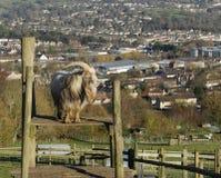 Ziege über der Stadt lizenzfreies stockfoto