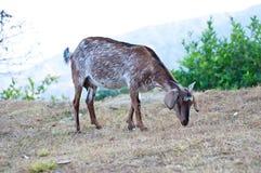 Ziege auf Berg Lizenzfreies Stockfoto