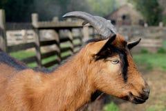 Ziege auf dem Bauernhof Stockfoto