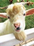 Ziege auf dem Bauernhof Lizenzfreie Stockfotografie