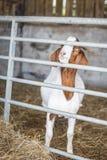 Ziege auf dem Bauernhof Stockbilder