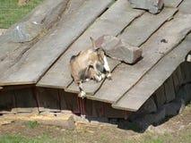 Ziege auf dem Dach eines kleinen Stalls bzw. Unterstand / Goat on the roof of a small stable.  royalty free stock photos