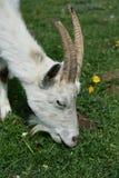 Ziege auf dem Weiden lassen lizenzfreie stockbilder