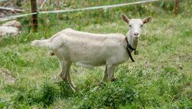 Ziege auf der grünen Sommerwiese Stockfotos