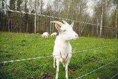 Ziege auf einem Bauernhof Stockbild