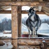 Ziege auf einem Bauernhof im Winter lizenzfreie stockfotografie