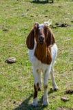 Ziege auf einem Gebiet stockfotos