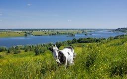 Ziege auf einem Hügel Stockbilder
