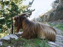 Ziege auf einem Weg nahe Kotor, Montenegro stockfotos