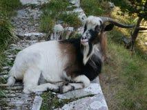 Ziege auf einem Weg nahe Kotor, Montenegro lizenzfreies stockbild