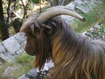 Ziege auf einem Weg nahe Kotor, Montenegro stockbilder