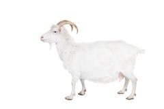 Ziege auf einem weißen Hintergrund Stockfoto