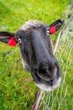 Ziege auf einer Farm der Tiere in Norwegen Lizenzfreie Stockfotos