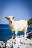 Ziege auf Felsen in Griechenland Stockbild