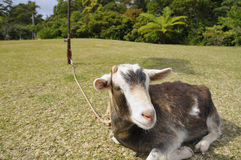 Ziege auf Gras lizenzfreie stockfotografie