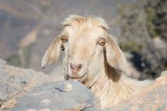 Ziege in den Bergen von Oman Lizenzfreies Stockbild