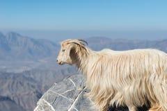 Ziege in den Bergen von Oman Lizenzfreie Stockfotos