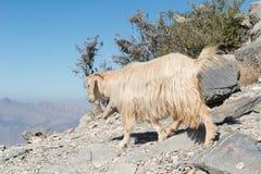 Ziege in den Bergen von Oman stockfotografie