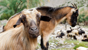 Ziege in den Karakorum-Bergen, Pakistan lizenzfreies stockbild