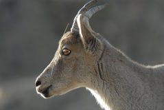 Ziege in der Sierra de Gredos in Avila, Spanien Lizenzfreies Stockbild