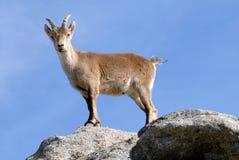 Ziege in der Sierra de Gredos in Avila, Spanien Lizenzfreies Stockfoto